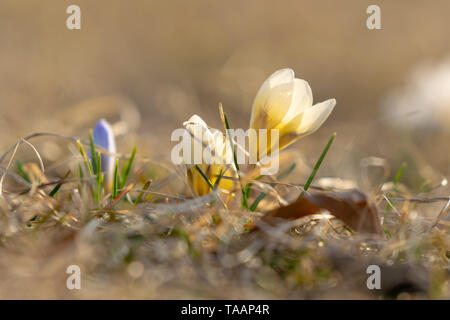 Early spring yellow and purple crocuses about to bloom, against a nice bokeh background, closeup - Stock Photo