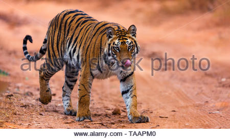 Yummy ... head on shot with eyes locked with the most beautiful predator - the Royal Bengal Tiger - Stock Photo