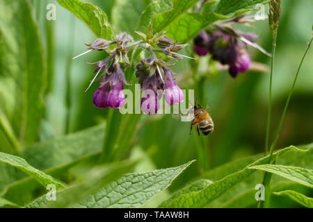 ummel fliegt auf eine lila, violett farbene Beinwell Blüte, auf einer Wiese - Stock Photo