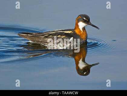Red-necked phalarope, Norway - Stock Photo