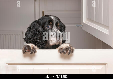 Springer Spaniel jumping up at stable door - Stock Photo