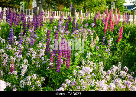 Lupins growing wild roadside in rural America. - Stock Photo