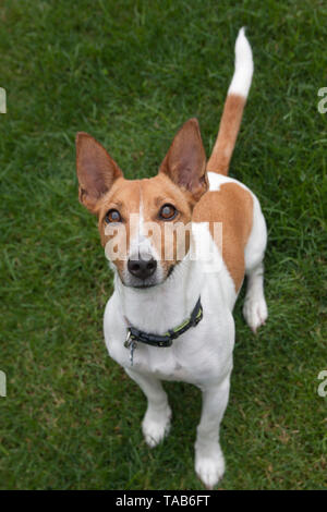 Jack Russell Terrier, Full profile one year old puppy, Sitting in garden, Looking up to camera, England, UK - Stock Photo
