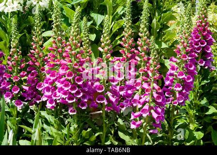 Digitalis Dalmatian Purple - Stock Photo