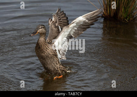Duck bathing and splashing in water with spread wings - Stock Photo