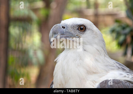 Eagle in the Philippines - Stock Photo