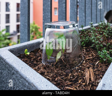 Balcony herb garden. Pot plants with chilli plants covered in drinking glasses to protect from cold wind - Stock Photo