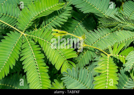 Sensitive plant / sleepy plant / touch-me-not (Mimosa pudica) close-up of leaflets, native to South America and Central America - Stock Photo