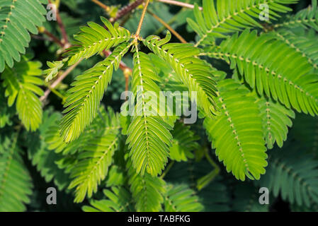 Sensitive plant / sleepy plant / touch-me-not (Mimosa pudica) close-up of leaflets folding inwards, native to South America and Central America - Stock Photo