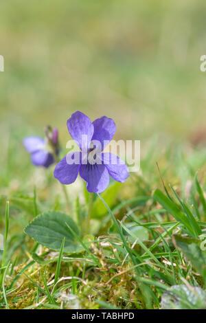Viola odorata. Sweet violet in an English woodland - Stock Photo