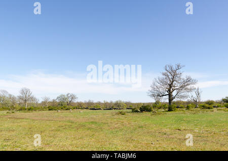 Open landscape with a big oak tree by springtime in the swedish nature reserve Horns Kungsgard at the island Oland - Stock Photo