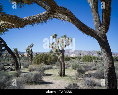 A series of Joshua trees against a blue sky in the Joshua Tree national park. - Stock Photo