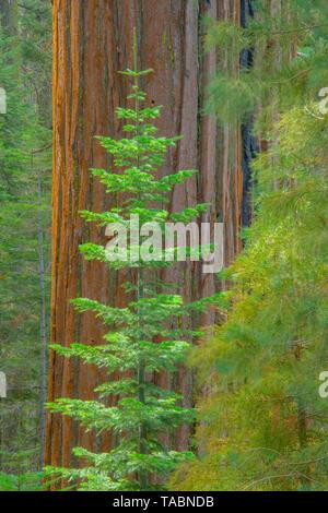 Redwood trees and Douglas firs, Yosemite National Park, California, USA by Bill Lea/Dembinsky Photo Assoc - Stock Photo