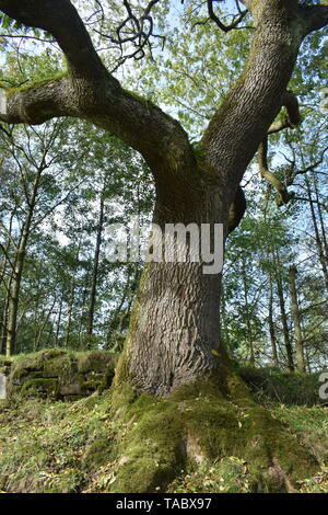 The old oak tree in the valley - Stock Photo