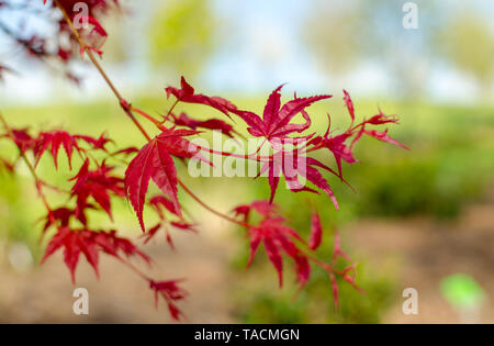 Acer palmatum 'Beni-maico' branches. Close up. - Stock Photo