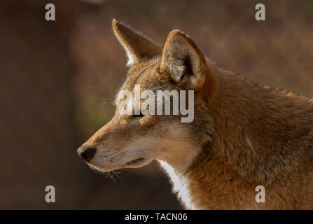 Red wolf (Canis lupus rufus) a rare wolf species  native to the southeastern United States. Picture from ZOO. - Stock Photo