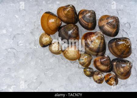 Shellfish enamel venus shell Seafood Clams on ice bucket in the supermarket - Stock Photo