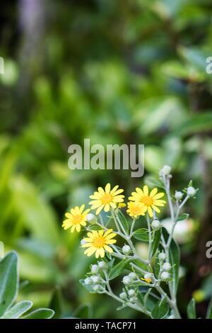 Brachyglottis greyi, also called Senecio greyi, with the common name daisy bush is an endemic native of New Zealand. - Stock Photo