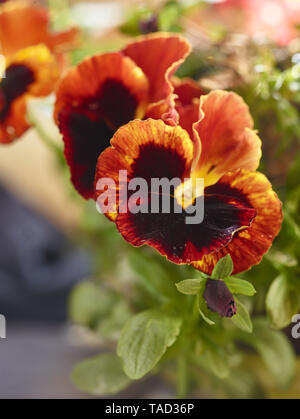 Colourful pansy flowers in a london urban garden in late spring. Nature close -up - Stock Photo