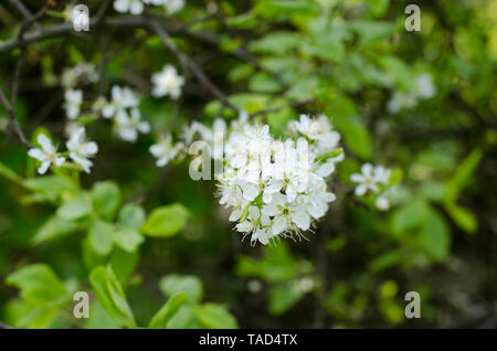 Prunus spinosa, called blackthorn or sloe, blossoming in springtime. - Stock Photo