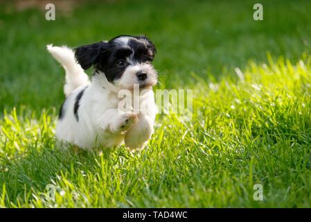 Cute little havanese puppy dog is running in a spring green garden - Stock Photo