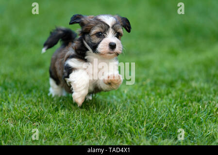 Cute little havanese puppy dog is running in the grass - Stock Photo