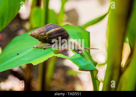 Achatina snail in a natural wild African environment crawing on a large green leaf on a sunny day in the shade - Stock Photo