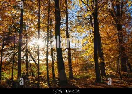 Germany, Bavaria, autumnal beech forest in sunshine near Dietramszell - Stock Photo