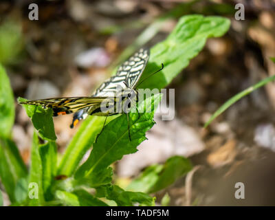 A chinese asian swallowtail butterfly, papilio xuthus, rests on a leaf between feeding on flowers. - Stock Photo