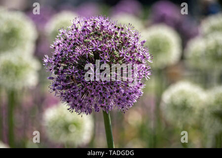 Allium Globemaster in boarder with large white Alliums - Stock Photo