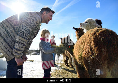 Father and daughter feeding alpacas with hay on a field in winter - Stock Photo