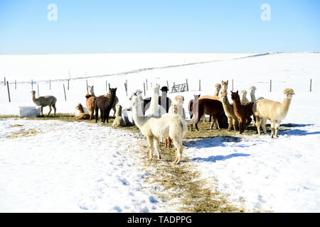 Herd of alpacas outdoors in winter - Stock Photo