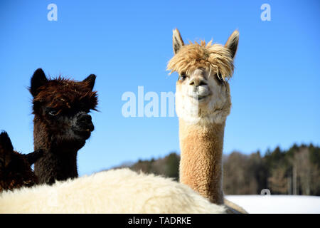 Portrait of two alpacas outdoors in winter - Stock Photo