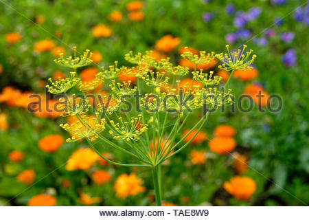 Common fennel in bloom (Foeniculum vulgare). Suzanne's vegetable garden, Le Pas, Mayenne, France. - Stock Photo