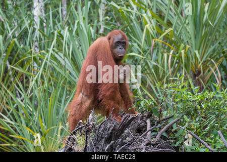Bornean orangutan (Pongo pygmaeus pygmaeus), Adult female with a baby near by the water of Sekonyer river, Tanjung Puting National Park, Borneo, Indonesia - Stock Photo