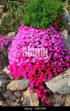 Iceplant (Lampranthus sp) in bloom, between the granitic rocks of the peninsula of Revellata, Corsica - Stock Photo