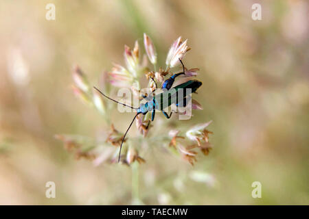 Thick-legged Flower Beetle (Oedemera nobilis) on a grass in spring, forest clearing around Cransac, Aveyron, France - Stock Photo
