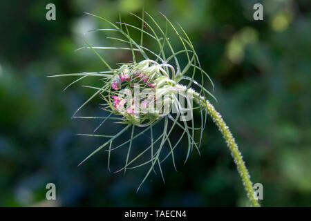 Umbellifer (Apiaceae sp) can be wild Carrot (Daucus carota), Early development of the umbel in spring, Undergrowth in the Massif des Maures, near Pierrefeu du Var, France - Stock Photo