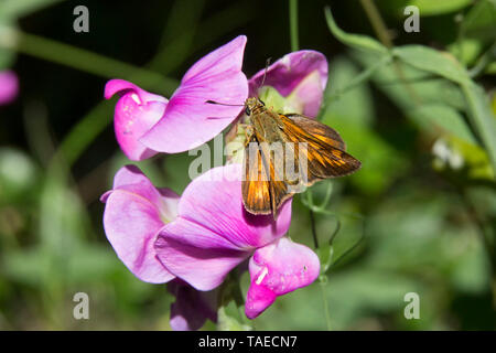 Skipper (Hesperiidae sp) to be determined, foraging in the spring, Maquis of the Maures massif, near Hyeres, Var, France - Stock Photo