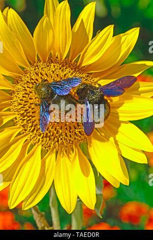 Carpenter Bee (Xylocopa violacea) on Wild sunflower (Helianthus annuus) in summer, Herault, France - Stock Photo