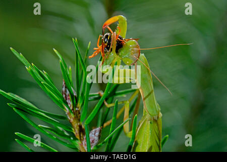 Praying Mantis (Mantis religiosa) eating a Paper Wasp (Polistes sp) on Rosemary in Summer, Catalonia, Spain - Stock Photo
