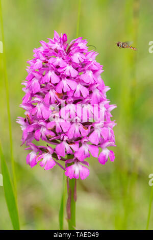Marmalade Hover-fly (Episyrphus balteatus) approaching in flight of a Pyramidal Orchid (Anacamptis pyramidalis) in bloom, Lorraine, France - Stock Photo