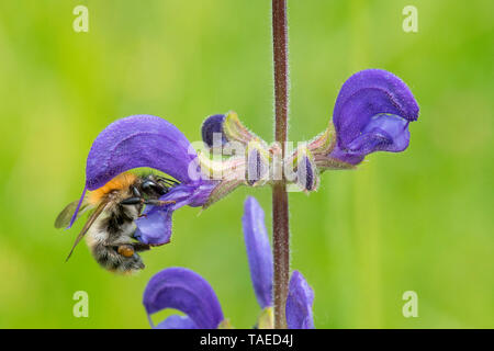 Brown Bumblebee (Bombus pascuorum) on Meadow Clary (Salvia pratensis) flower, France - Stock Photo