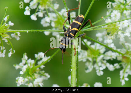 Wasp Beetle (Clytus arietis) on Chervil (Anthriscus sp) flowers, Lorraine, France - Stock Photo