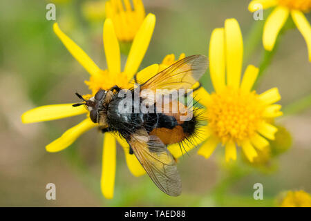 Tachinid fly (Nowickia ferox) on Common Ragwort flower, Bouxieres aux dames, Lorraine, France - Stock Photo