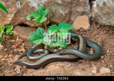 Slow worm (Anguis fragilis) couple in a garden, Bouxieres-aux-dames, Lorraine, France - Stock Photo