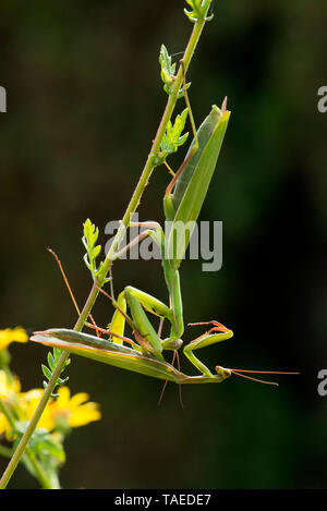 Praying Mantis (Mantis religiosa) female eating a male, Bouxieres-aux-dames, Lorraine, France - Stock Photo