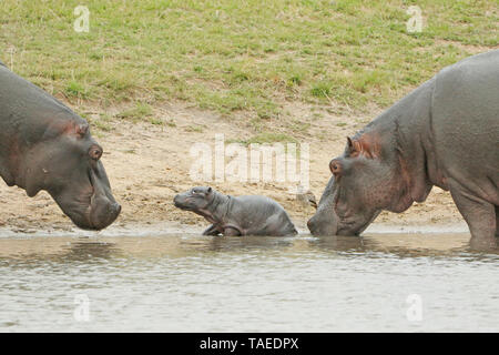 Hippopotamus (Hippopotamus amphibius). Newborn hippopotamus. Arrival of the mother (right) with, still present, one of the hippopotamuses coming to greet the newborn. Kruger N.P. South Africa - Stock Photo