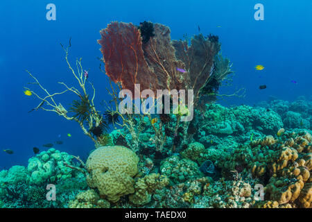 Tara Pacific expedition - november 2017 North Ema Reef, Kimbe Bay papua New Guinea, Giant Sea Fan, Gorgonian Fan Coral (Annella mollis, Syn Subergorgia mollis), Feather Stars, invertebrate filter feeders who need strong water flow, settle on the vanishing Gorgonian fan. D: 10 m - Stock Photo