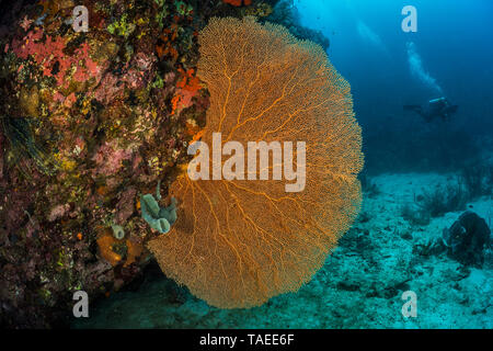Tara Pacific expedition - november 2017 Giant Sea Fan, Gorgonian Fan Coral (Annella mollis, Syn Subergorgia mollis) on reef wall, D: 24 m North Ema Reef in Kimbe Bay, Papua New Guinea - Stock Photo